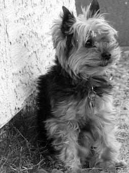 West Virginia Teacup Yorkies, Yorkie, Yorkshire Terrier For Sale