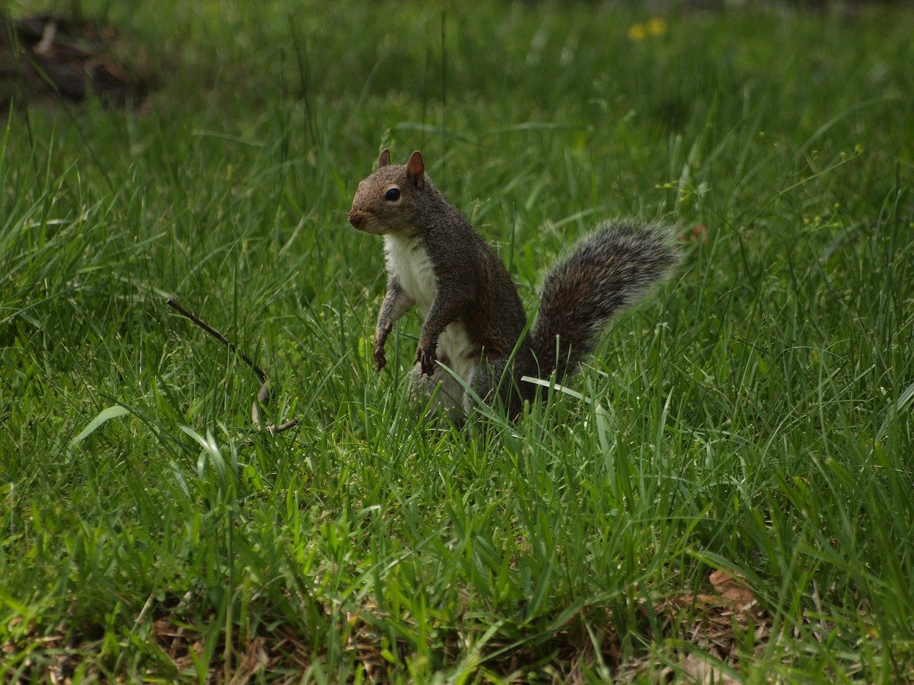 the eastern grey squirrel Sciurus carolinensis, common name eastern gray squirrel or grey squirrel depending on region, is a tree squirrel in the genus sciurusit is native to eastern north america, but has since been introduced to european regions where it has become an invasive species distribution.