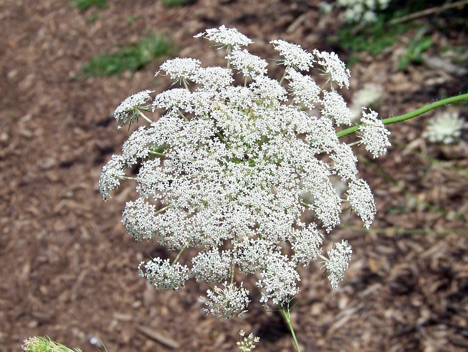 Weed Flower White · Free photo on Pixabay