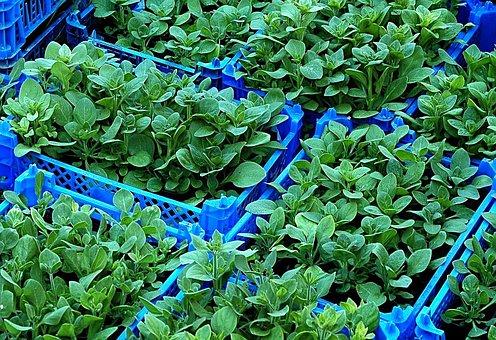 Seedlings, Plants, Nursery, Raising