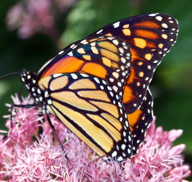 Motyl Monarcha Owad - Darmowe zdjęcie na Pixabay