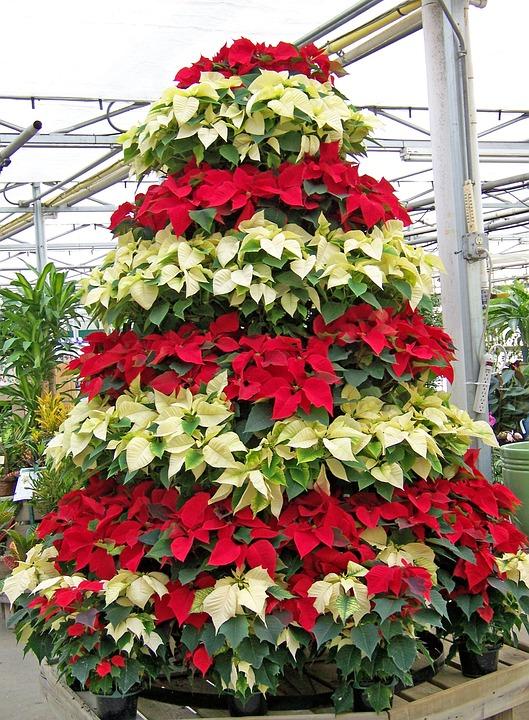 Cultivación Flores Navidad · Foto gratis en Pixabay