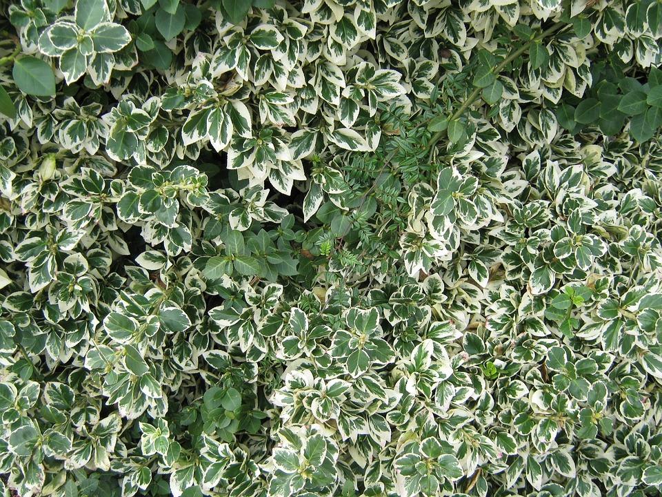 Gratis foto bladeren struik bonte blad gratis afbeelding op pixabay 18645 - Bush architectuur ...