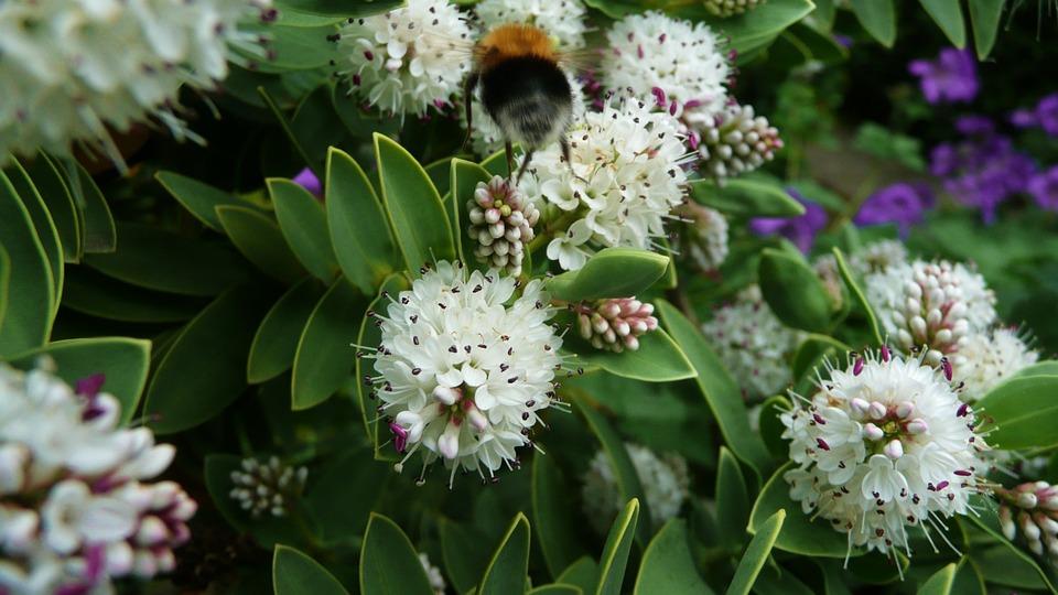humlebien blomster