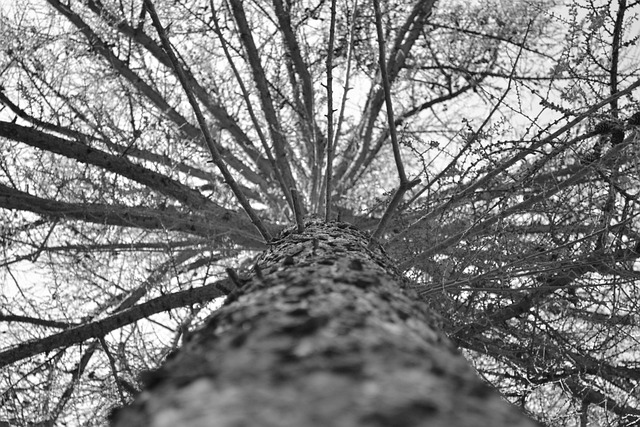 Free photo tree grey looking up high tall free for Structure photography