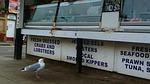 seagull, bird, regular