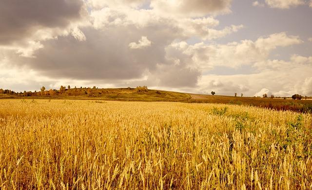 free photo yellow wheat field clouds sky free image on