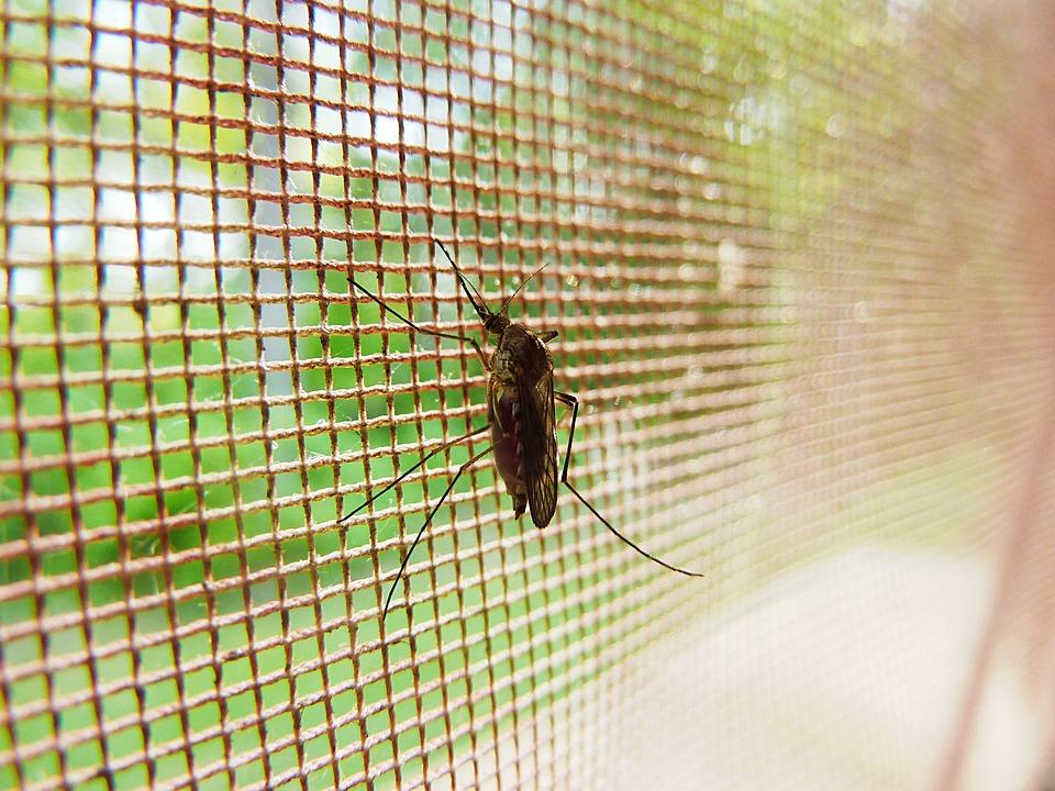 Sivrisinek, Böceği, Böcek, Böcek, Pest, Hastalığı