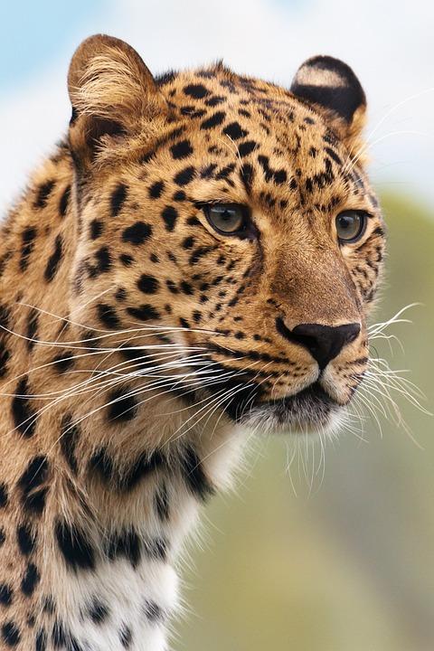 Léopard - Félin - Carnivore - Mammifère - Animal - SchoolMouv - Sciences - CE2