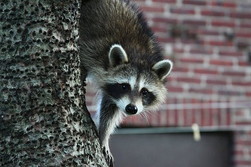 Raccoon Animal Tree Wildlife Wild Mammal F