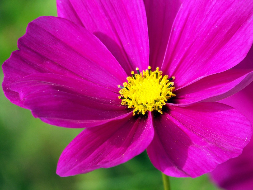 Pink Cosmos Flowers Free Photo On Pixabay