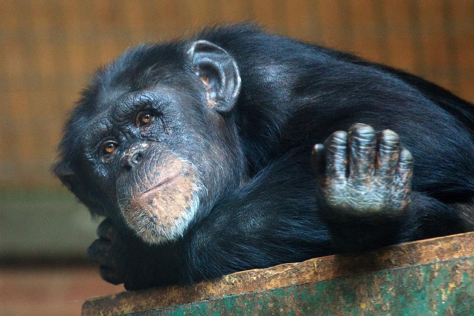 Animal, Ape, Chimp, Chimpanzee, Eyes, Face, Mammal
