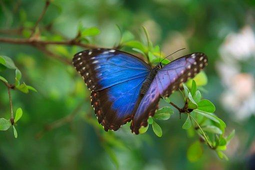 Animal, Beautiful, Blue, Butterfly