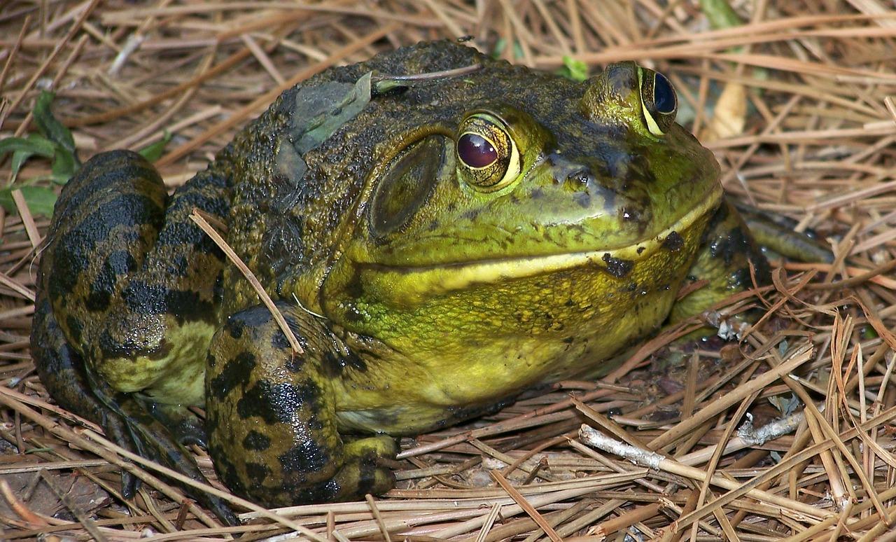 Менш цікавим, однак, приємним співом дивують самці квакші, або, як їх ще часто називають на мукачівщині, деревні жаби - їхніми біотопами є світлі широколистяні і мішані ліси, сади виноградники