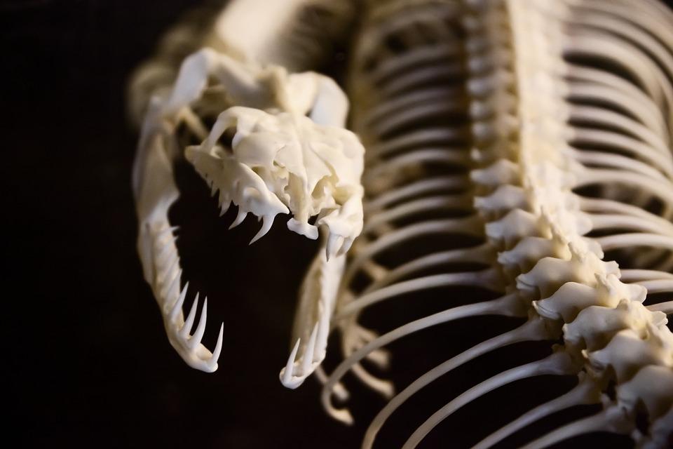 Anatomía Animales Hueso · Foto gratis en Pixabay