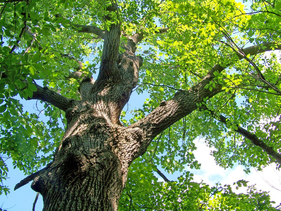 Looking up into an oak tree, you can see the green leaves, some sunlight, and a blue sky with small wispy clouds
