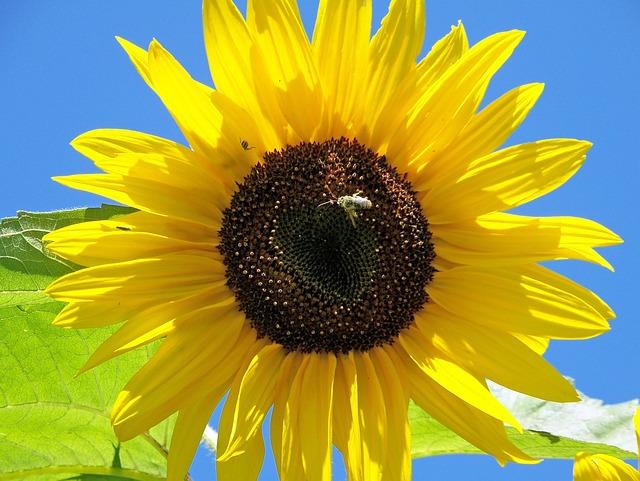Citaten Zomer Gratis : Gratis foto zonnebloemen de zomer geel bloom