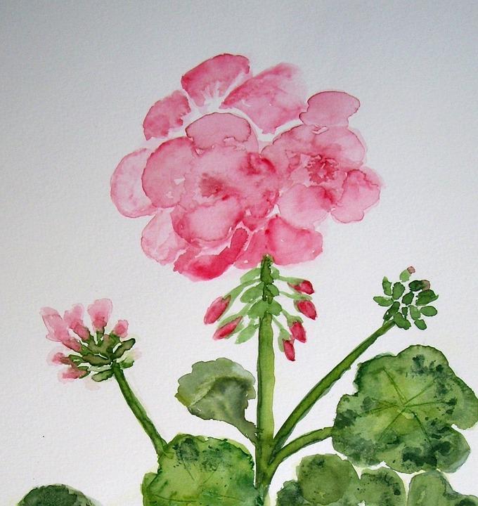 Sardunya çiçek Boyama Pixabayde ücretsiz Resim