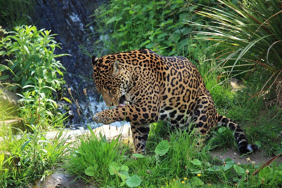 Free photo: Animal, Carnivore, Cat, Dangerous - Free Image ...