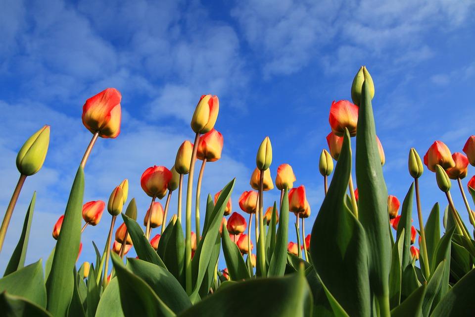Field, Flowers, Buds, Tulips, Background, Bloom