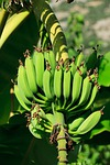agriculture, banana, branch