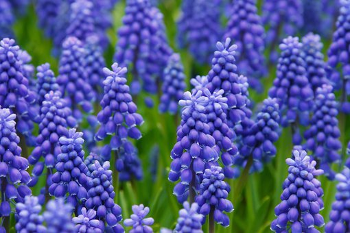 Hyacinth Muscari Grape Hyacinth Flowers Be