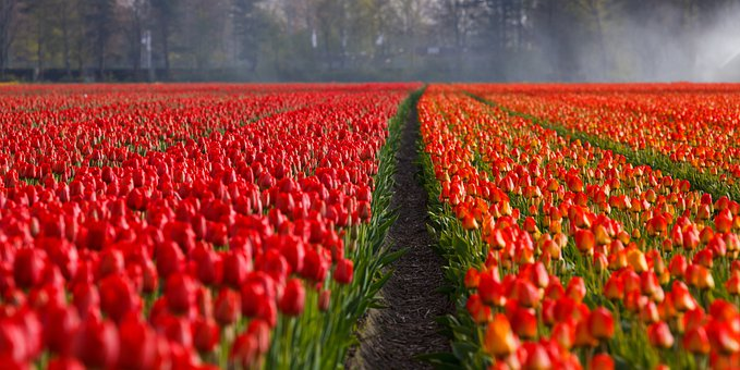 Tulips, Tulip, Field, Fields, Orange
