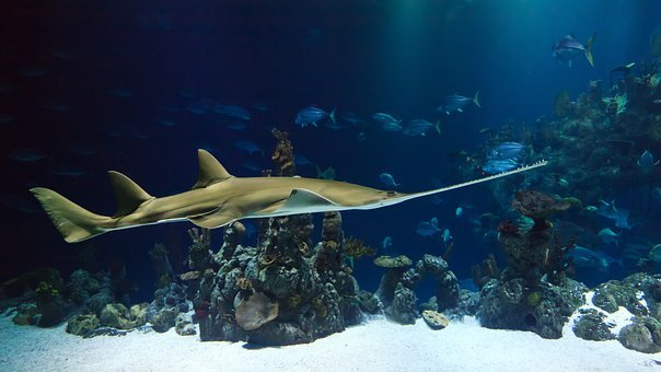 Animal, Shark, Sawfish, Aquarium