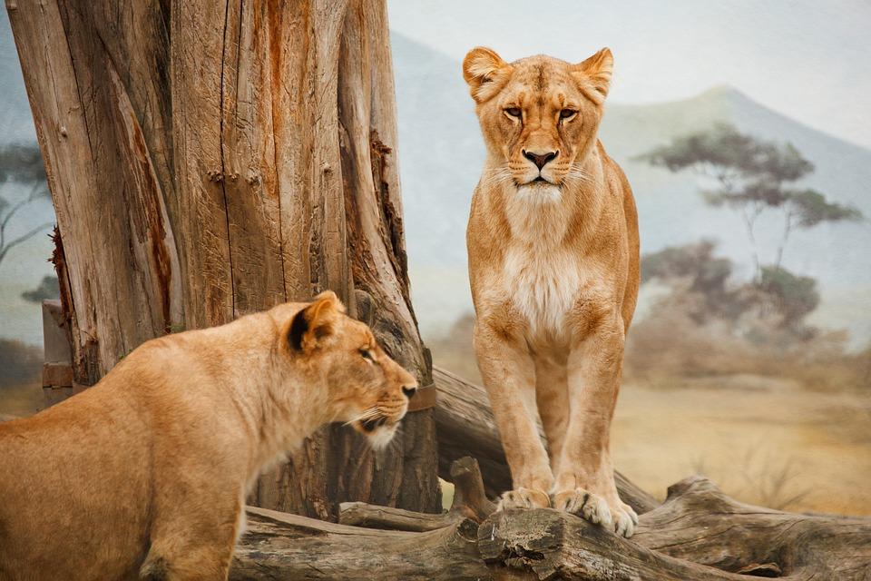 Lions, Animals, Zoo, Mammals, Lioness, Big Cats