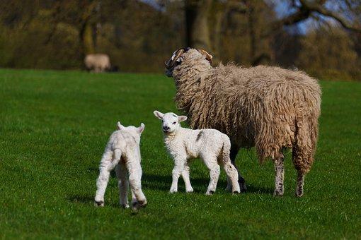Agriculture, Animal, Baby, Cute, Farm