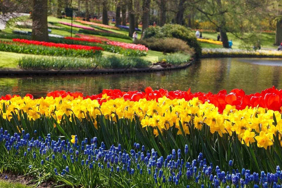 Free Photo Tulips Tulip Daffodils Daffodil Free