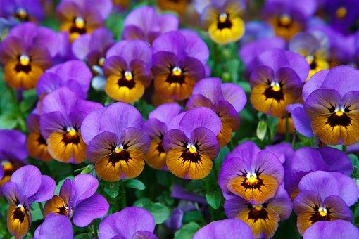 Purple background free images on pixabay for Viola cornuta inverno