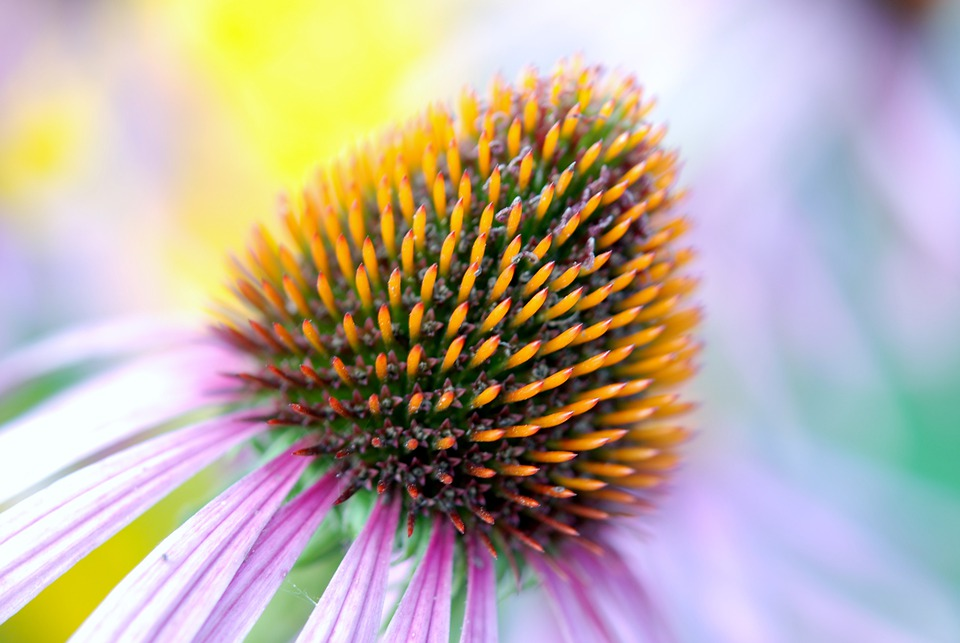 Bloom, Colorato, Echinacea, Dettaglio, Flora, Fiore