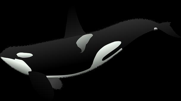 Orca, Großer Schwertwal, Meeressäuger