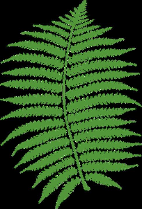Image vectorielle gratuite foug re feuilles vert for Plante 8 feuilles