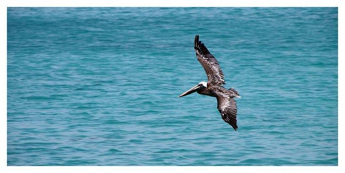 Pelikan, Bird, Pelicano Pardo