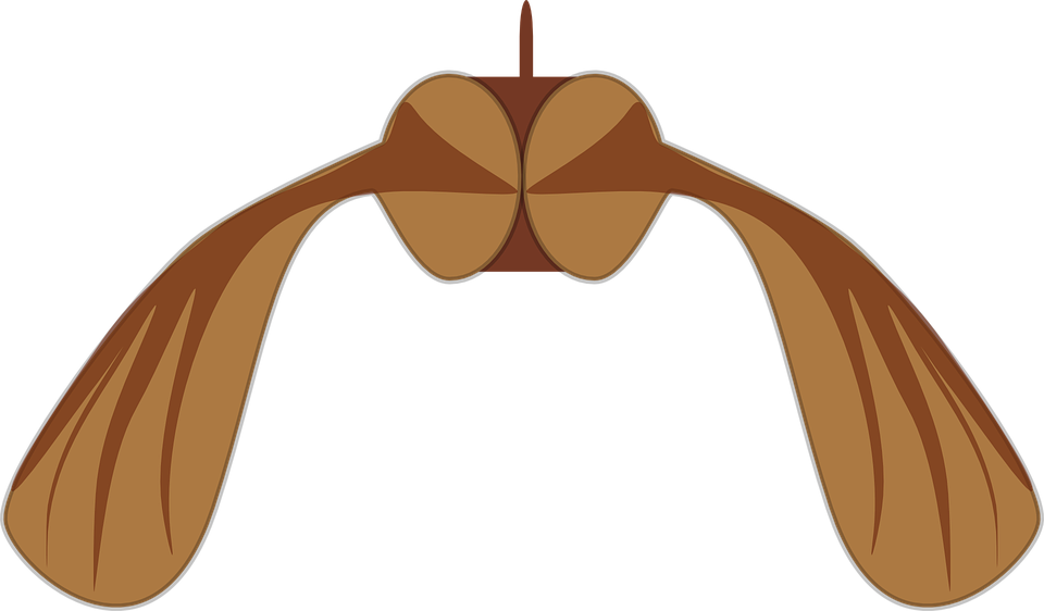 Maple Seed Biology - Free vector graphic on Pixabay