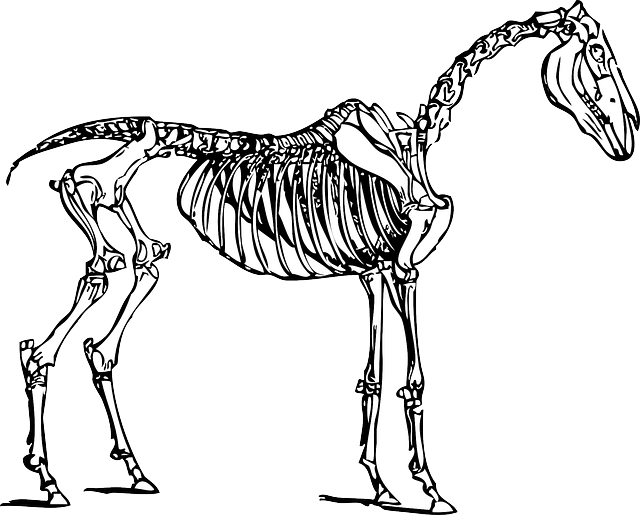 Horse Anatomy Skeleton Free vector