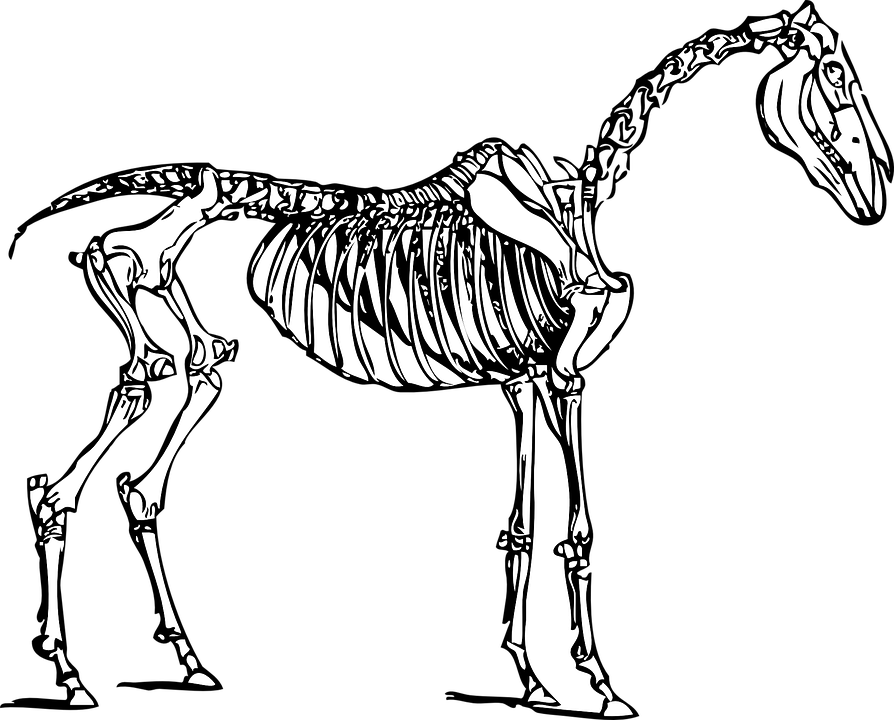 Horse Anatomy Skeleton · Free vector graphic on Pixabay