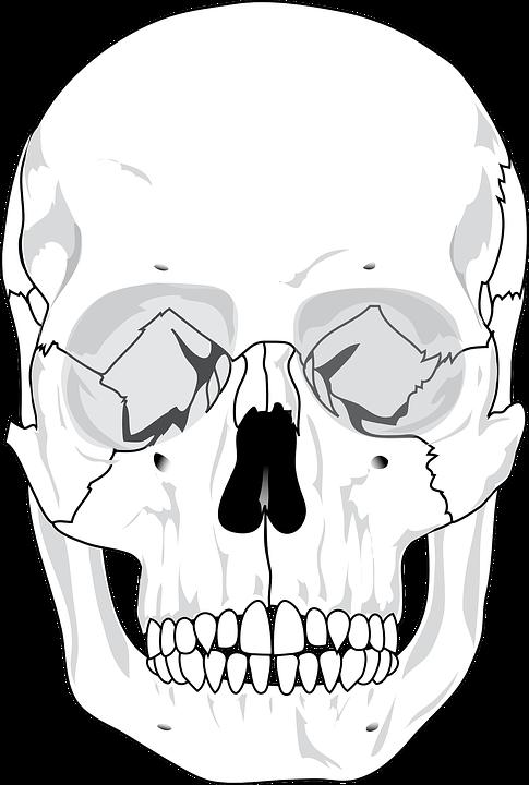 Cráneo Humana Diagrama Los · Gráficos vectoriales gratis en Pixabay