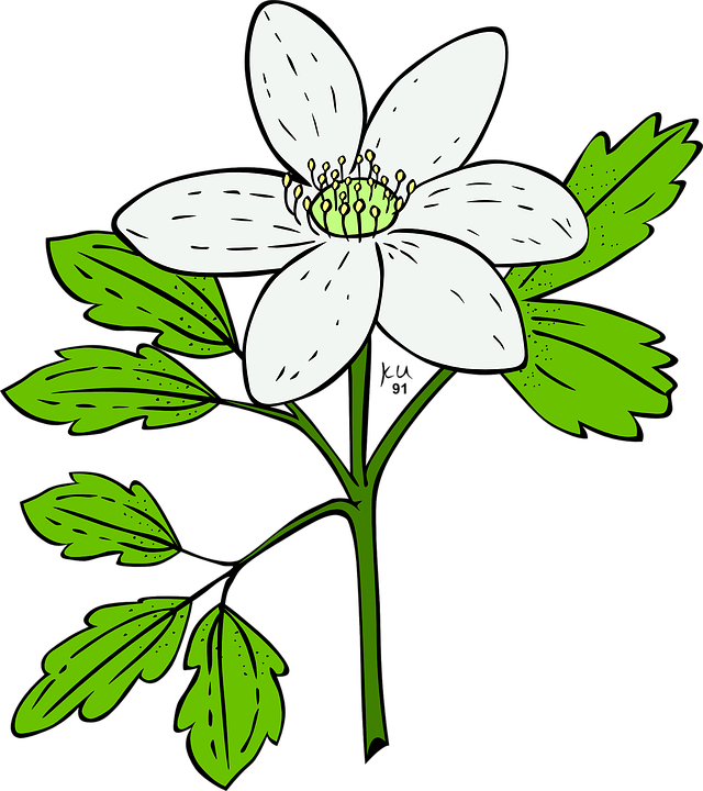 Gambar Ilustrasi Tanaman Bunga Anemon Tanaman Bunga Gambar Vektor Gratis Di Pixabay