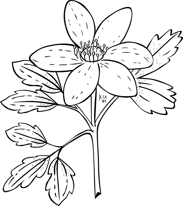 Anemone Flower Plant Free Vector Graphic On Pixabay