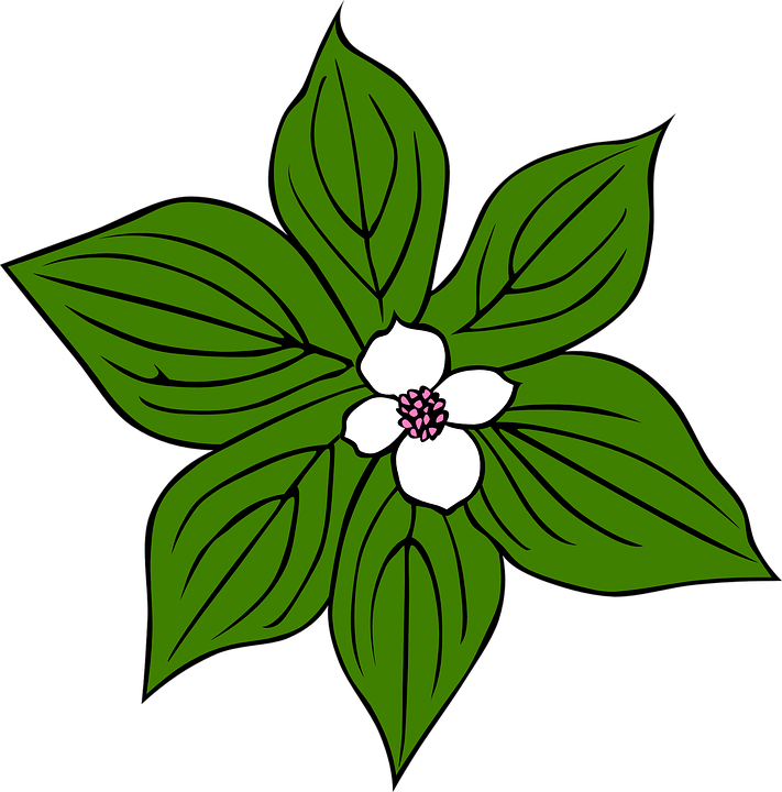 flower white leaves free vector graphic on pixabay rh pixabay com dogwood tree clipart pink dogwood clipart