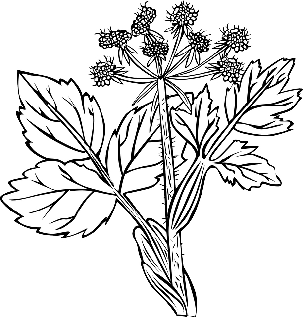White Snakeroot Plant Flowers 183 Free Vector Graphic On Pixabay