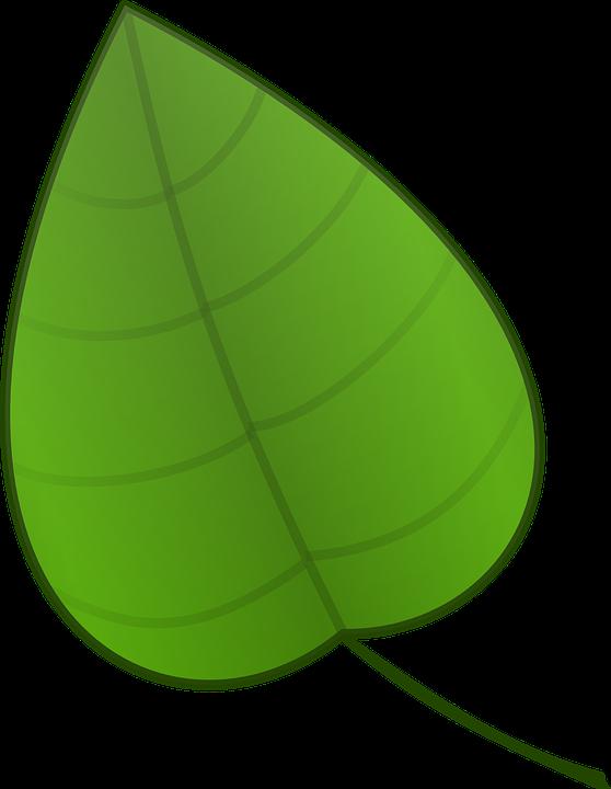 De la hoja verde plantas gr ficos vectoriales gratis en for Arboles de hoja perenne en galicia