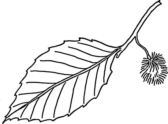 Bukove Listi Buku Buk Vektorova Grafika Zdarma Na Pixabay