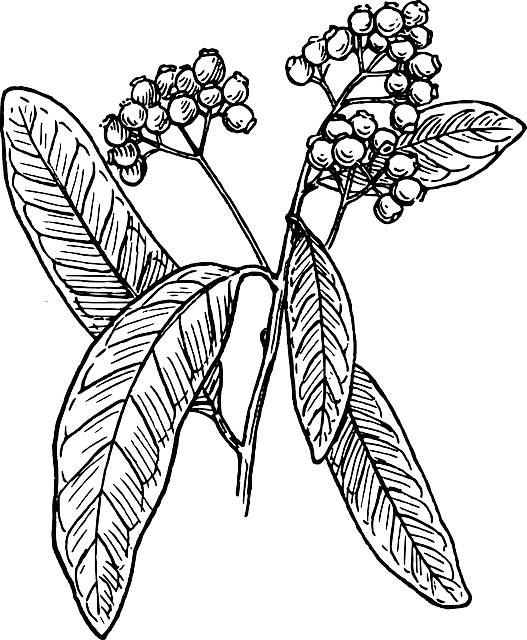 allspice spice plant  u00b7 free vector graphic on pixabay