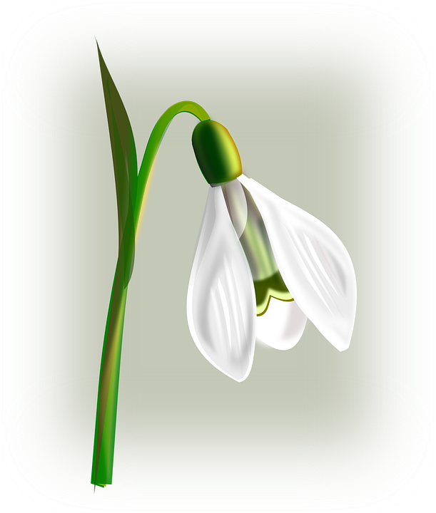 Snowdrop Flower White · Free vector graphic on Pixabay