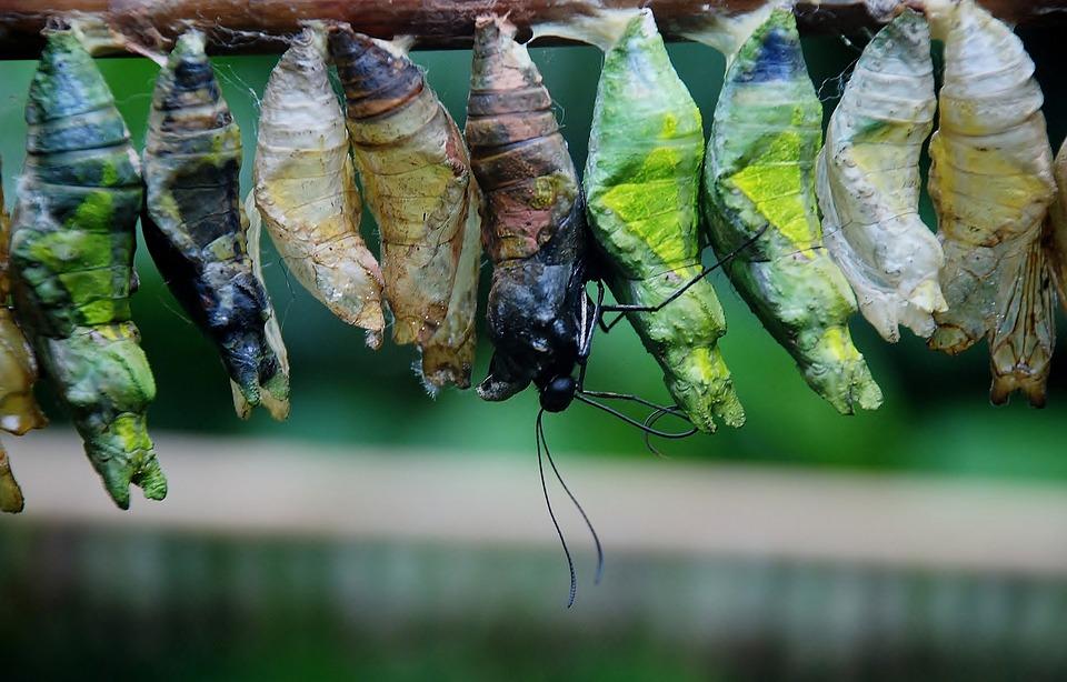 cocoon chrysalide de papillon photo gratuite sur pixabay. Black Bedroom Furniture Sets. Home Design Ideas