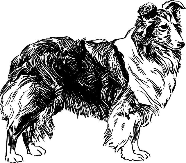 free vector graphic dog shetland sheepdog pet free